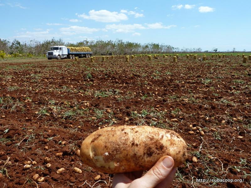 Cooperation pour la culture de la pomme de terre association cuba coop ration france - Date recolte pomme de terre ...